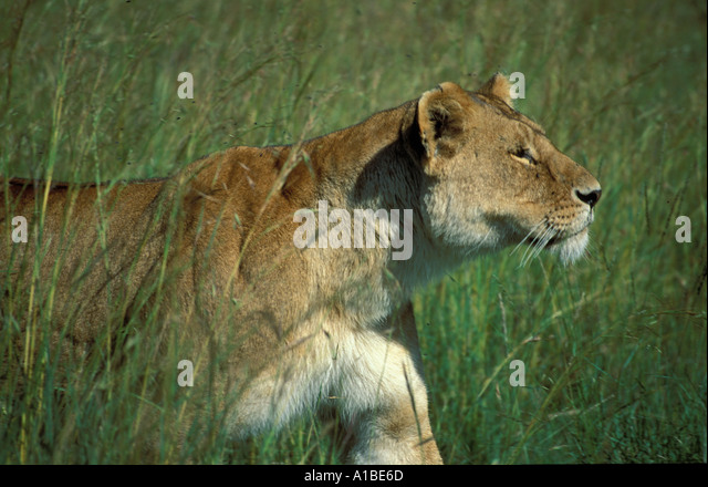 Lioness Stalking In Grass Kenya Stock Photos & Lioness ...