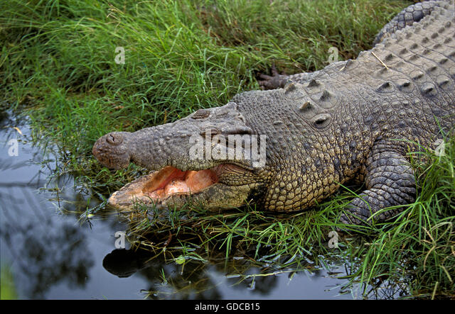 australian saltwater crocodiles Australian saltwater crocodiles are by far the most dangerous animals in australia they are huge, aggressive, territorial, and plentiful across the north of the.