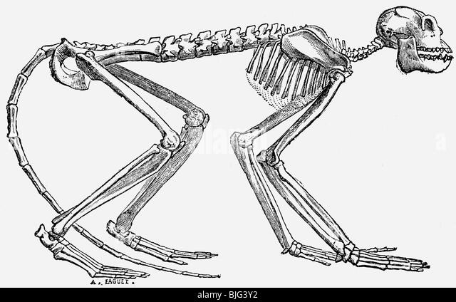 prehistory animals skeleton of the prehistoric monkey mesopithecus pentelicus miocene epoch illustration