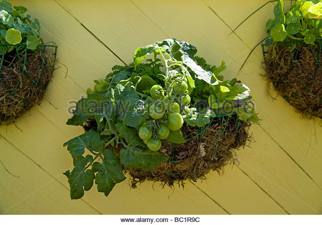 Hanging Baskets With Tomato Plants In Fruit Nasturtiums   Stock Image