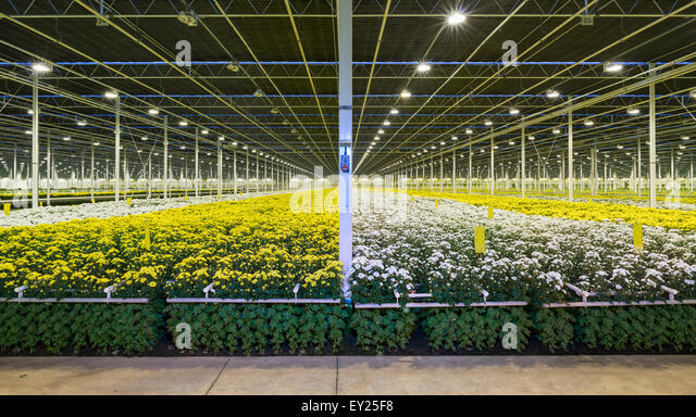 how to grow chrysanthemums in brisbane