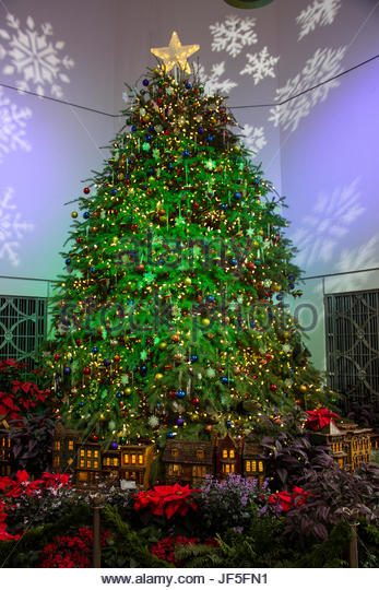a large and classic christmas tree brightens the gardens stock image - Classic Christmas Trees
