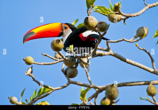 Genipap Tree Stock Photos & Genipap Tree Stock Images - Alamy