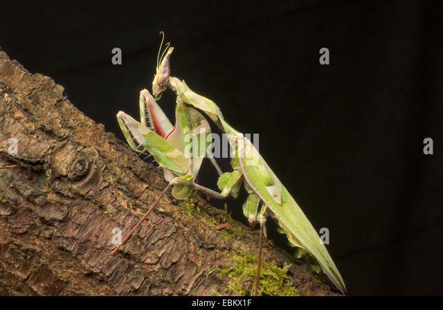 Devils Flower Mantis' Predator