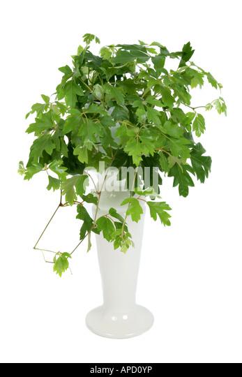 Veldt Grape Cissus Quadrangularis: Cissus Stock Photos & Cissus Stock Images