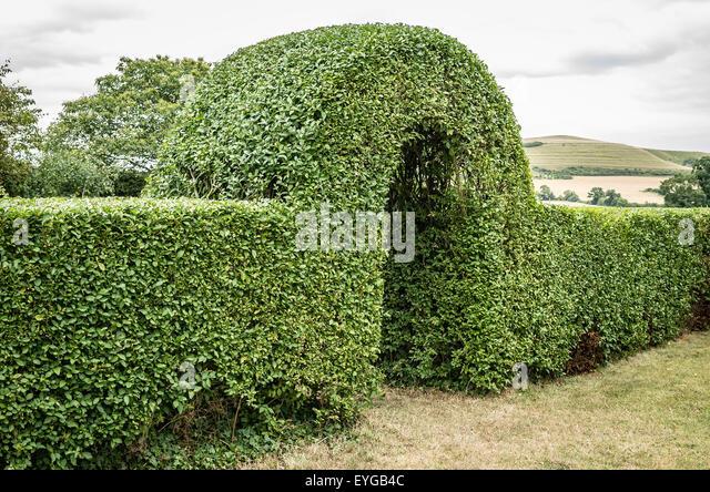 Japanese Privet Hedge