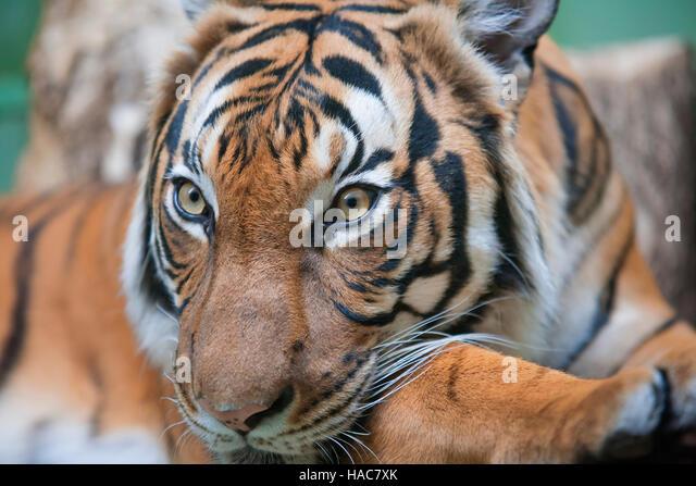 Fierce Tiger Face Stock Photos & Fierce Tiger Face Stock ...