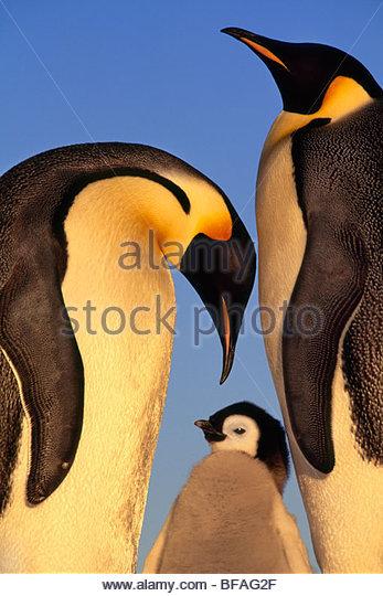 Emperor penguin family, Aptenodytes forsteri, Weddell Sea, Antarctica ...