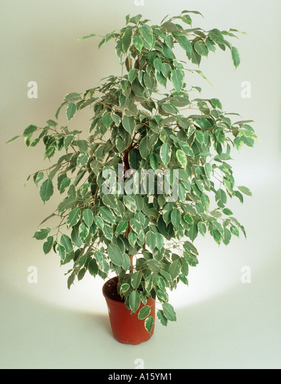 how to grow weeping fig