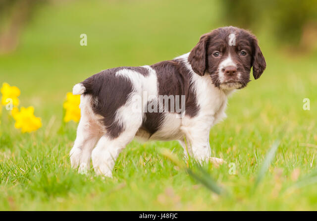 An English Springer Spaniel puppy at 6 weeks old exploring the garden - Stock Image