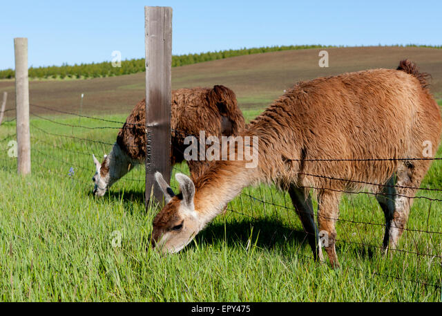 Alpaca fence field alpaca stock photos alpaca fence for Alpaca view farm cuisine