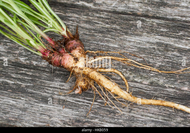 edible roots stock photos edible roots stock images alamy. Black Bedroom Furniture Sets. Home Design Ideas