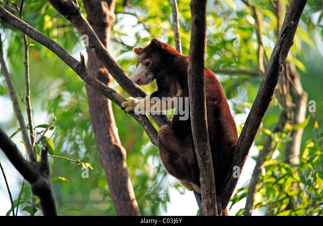 goodfellows tree kangaroo or ornate tree kangaroo dendrolagus goodfellowi adult in a tree