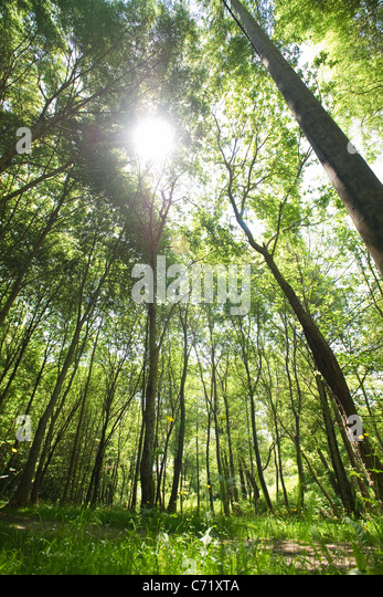Sunlight shining through forest canopy low angle view - Stock Image & Below Forest Canopy Stock Photos u0026 Below Forest Canopy Stock ...