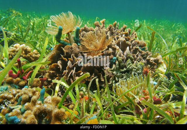 Caribbean Sea Animal Life: Animal Grass Caribbean Stock Photos & Animal Grass