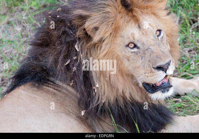 lion fangs stock photos amp lion fangs stock images   alamy