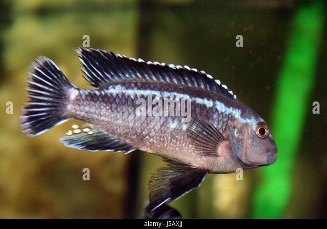Buntbarsch stock photos buntbarsch stock images alamy for Zierfische barsch