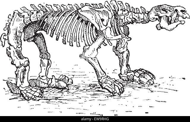 megatheriid ground sloth or megatherium sp showing skeleton vintage engraved illustration dictionary