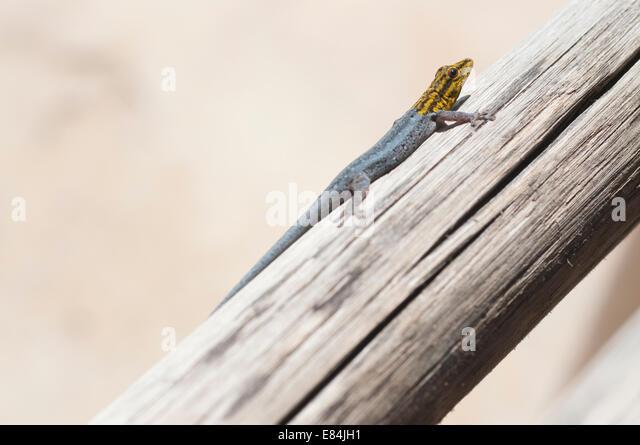 lygodactylus stock photos amp lygodactylus stock images   alamy