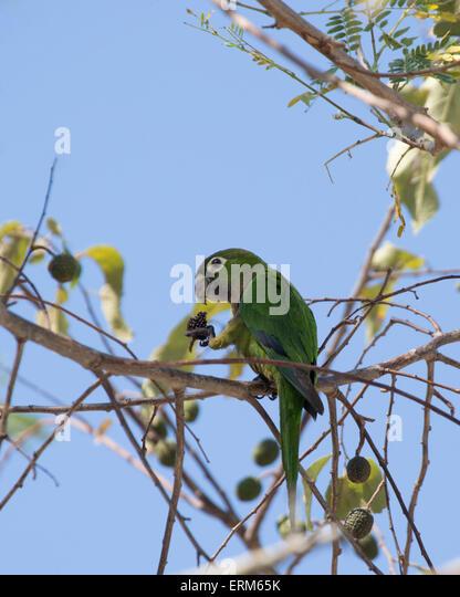 Parakeets Stock Photos Parakeets Stock Images Alamy