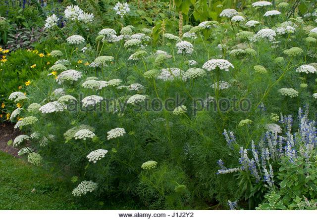 Visnaga stock photos visnaga stock images alamy for Plante annuelle