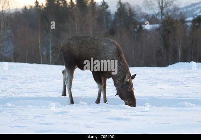 Eurasian elk - photo#53