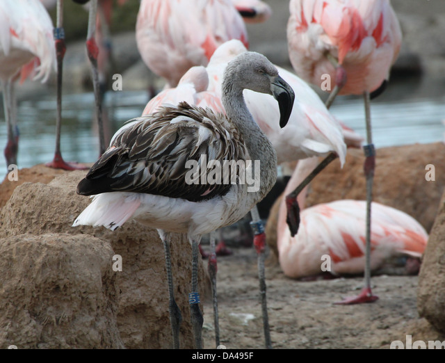Greater flamingo phoenicopterus roseus stock photos - Bioparc de valencia ...