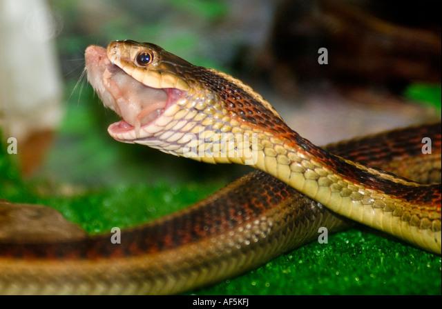 Snake Feeding Stock Photos & Snake Feeding Stock Images ...