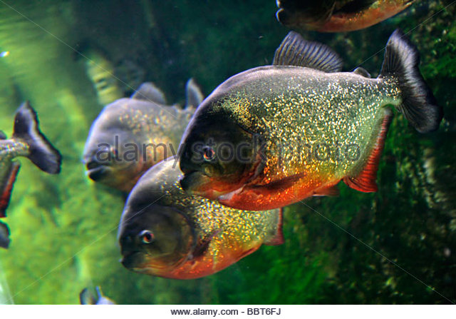 Red bellied piranha stock photos red bellied piranha for Pictures of piranha fish