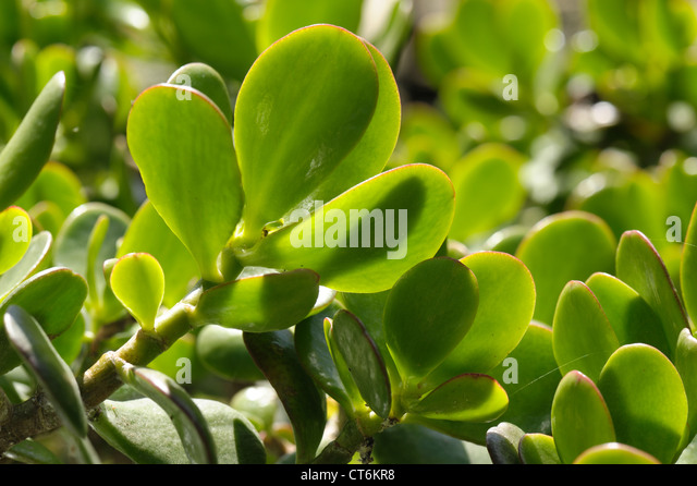 how to grow jade plant from leaf
