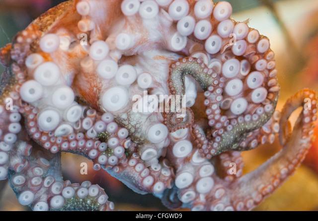 baby octopus stock photos - photo #13