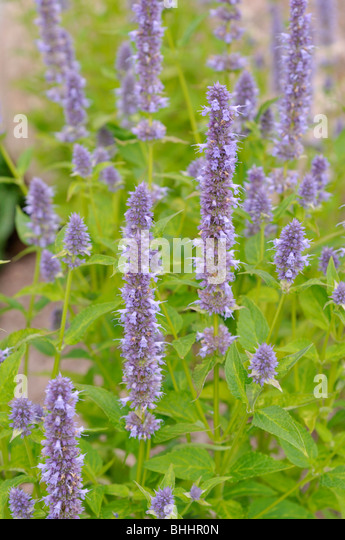 giant hyssop blue fortune - photo #19