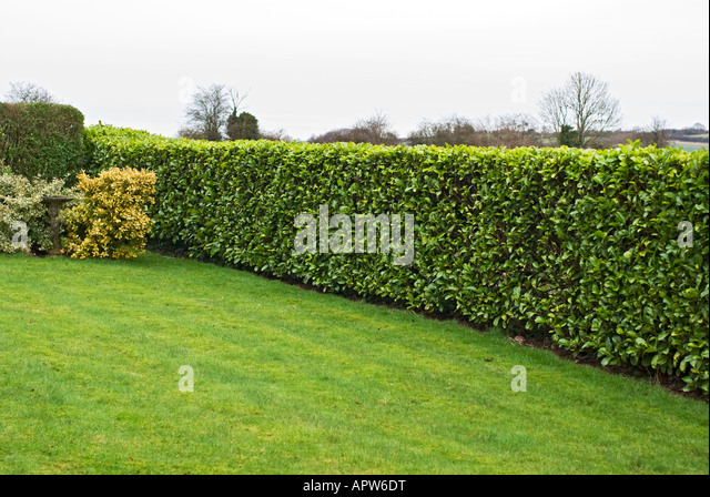 High Quality Neatly Clipped Laurel Hedge In A Wiltshire Garden UK   Stock Image