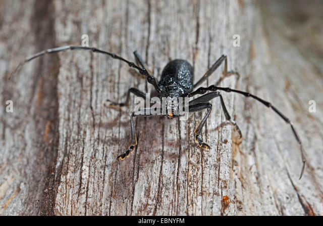 long horned beetle cerambyx stock photos long horned beetle cerambyx stock images alamy. Black Bedroom Furniture Sets. Home Design Ideas
