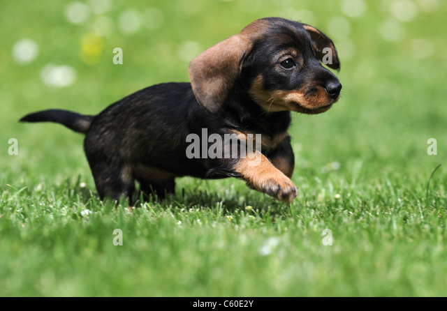 Wire Haired Dachshund Dog Running Stock Photos & Wire Haired ...