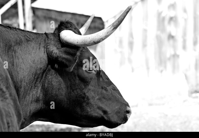 bull-head-black-and-white-byadbj.jpg