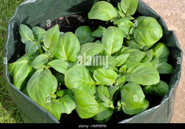Potatoes Growing In A Space Saving Patio Bag Or Vegetable Grow Bag Of  Compost. Variety