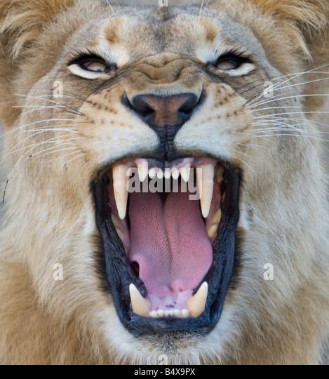 Lion Roaring Front View | www.pixshark.com - Images ...