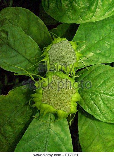 Dorstenie d multiradiata dorstenia multiradiata - Begonia argentata ...