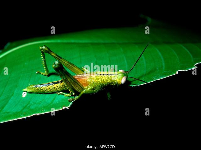 Dunk Island Great Barrier Reef Australia: Locust Eating Leaf Stock Photos & Locust Eating Leaf Stock