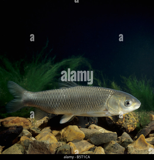 Grass carp ctenopharyngodon idella stock photos grass for White amur fish