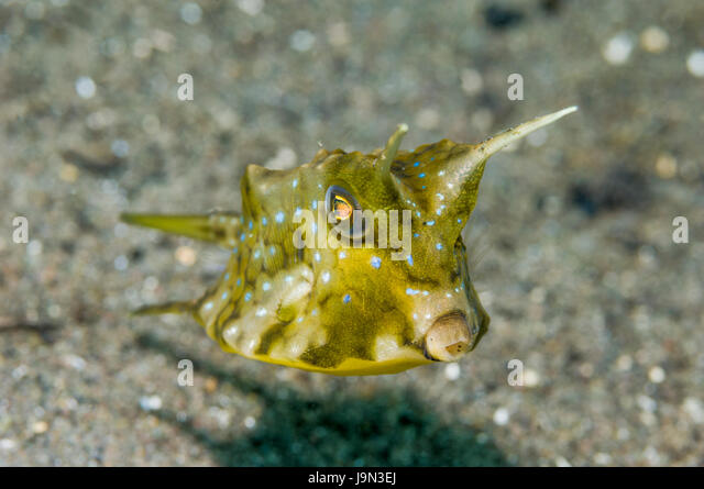 longhorn cowfish lactoria cornuta komodo national park indonesia stock image