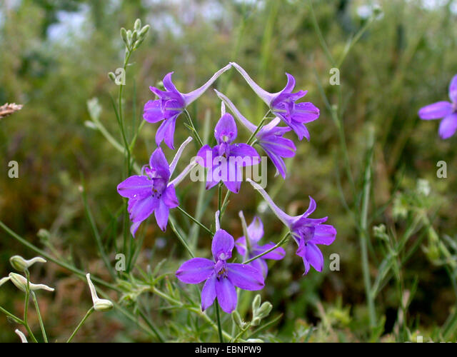 delphinium-consolida