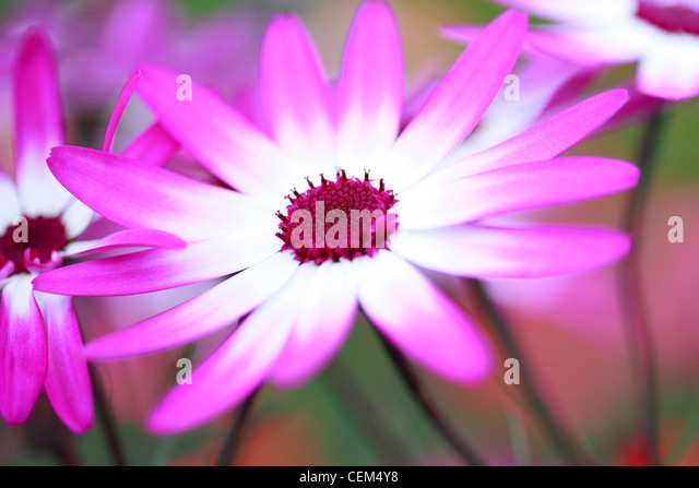 Magenta Colour Stock Photos Amp Magenta Colour Stock Images