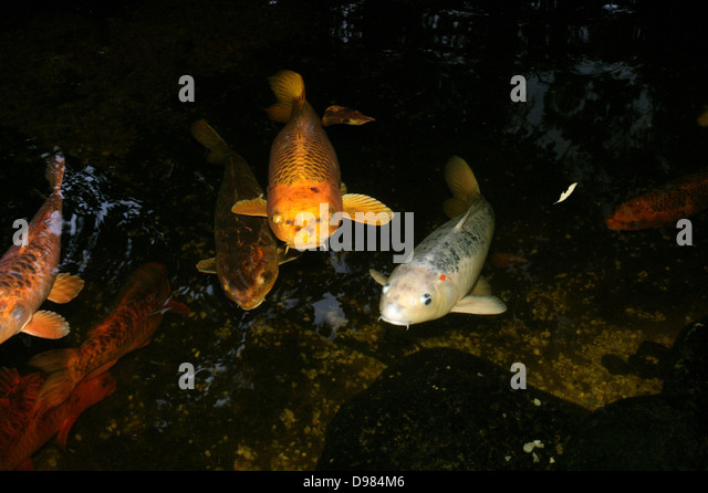 Goldfish pond stock photos goldfish pond stock images for Koi swimming
