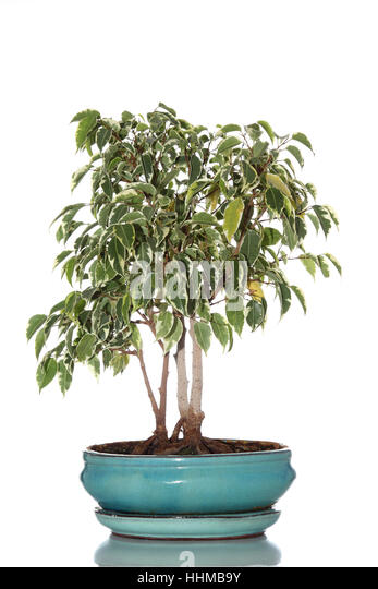 bonsai tree ficus benjamina stock photos bonsai tree ficus benjamina stock images alamy. Black Bedroom Furniture Sets. Home Design Ideas