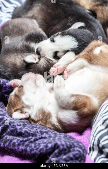 sleepy-two-week-old-husky-puppies-with-t