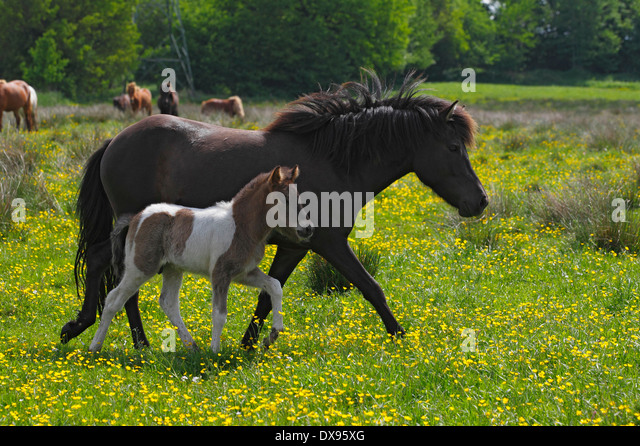 Two Ponies Walking Stock Photos & Two Ponies Walking Stock Images ...