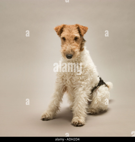 Wire fox terrier stock photos amp wire fox terrier stock images alamy