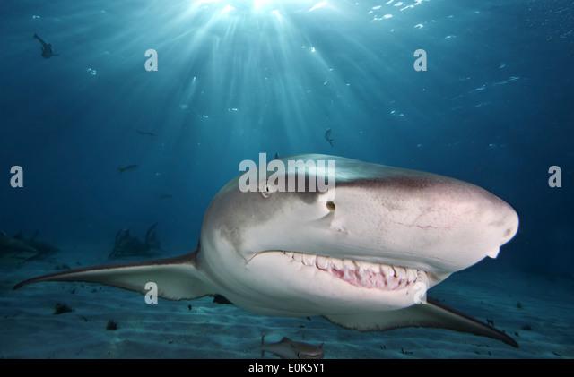 Caribbean Reef Shark Teeth